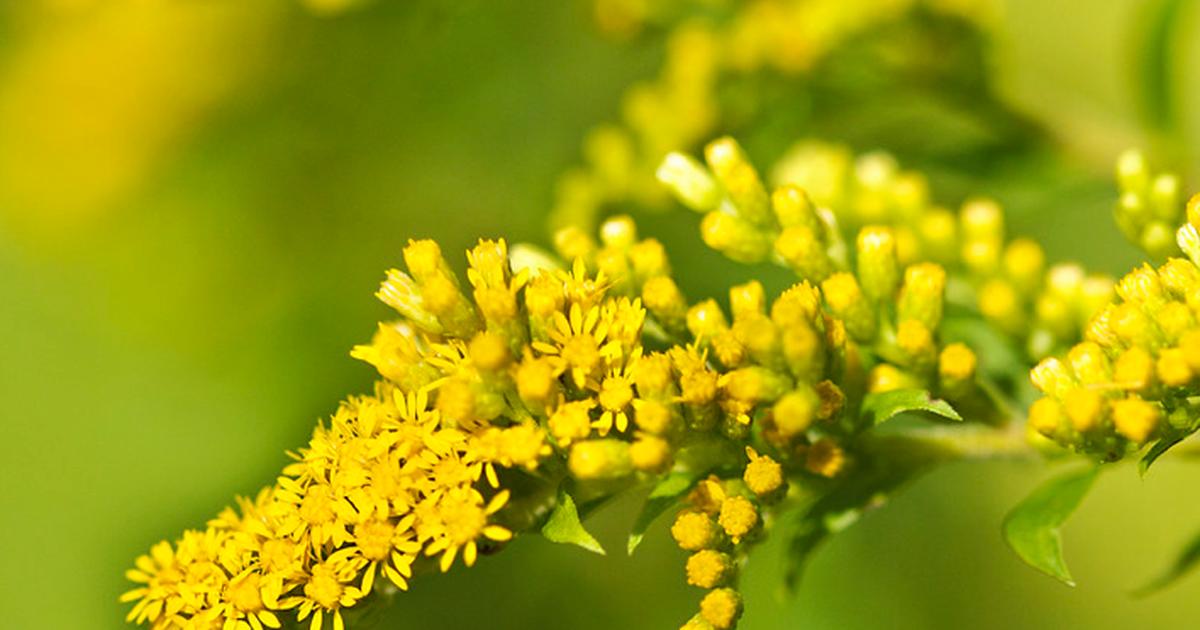 nawłoć inwazyjne gatunki żółty